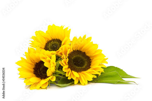 sunflower on white background (Helianthus) Fotobehang