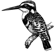 Bird Pied Kingfisher