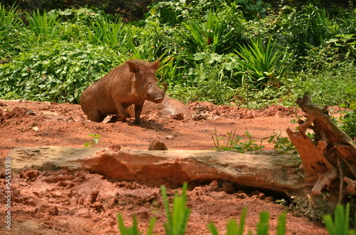 Photo  Warthog in Singapore zoo