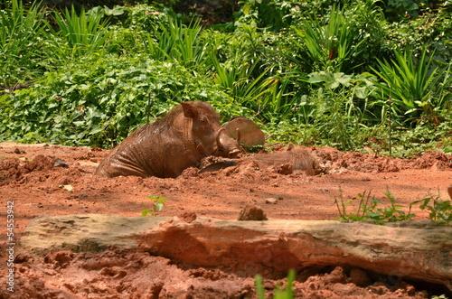 Photo  Warthog in Singapore zoo