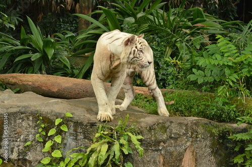 Tuinposter Luipaard White Tiger in Singapore Zoo