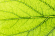beautiful background of green leaf. macro