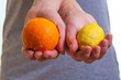 Citrus fruits in hands.