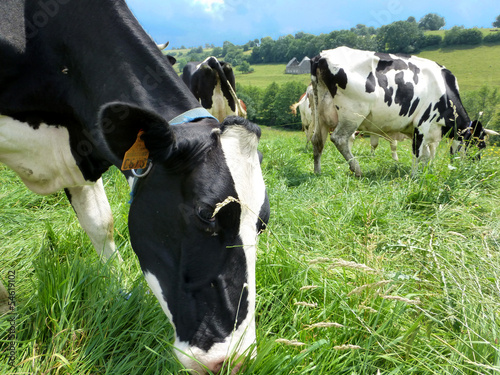 Poster de jardin Vache Troupeau de vaches