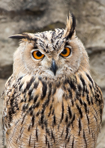 Papiers peints Chouette Long-eared Owl Portrait