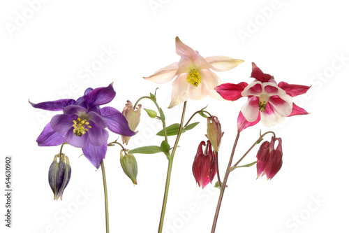 Photo Three aquilegia flowers