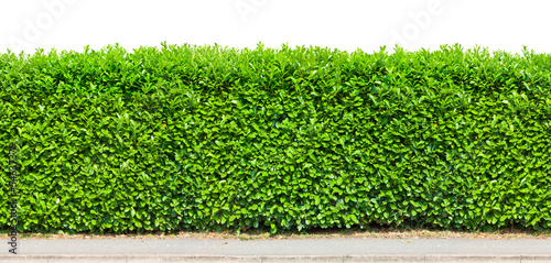 Foto  Tall hedge isolated