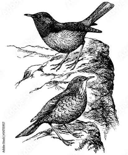 Obraz na plátně Birds Common Rock Thrush