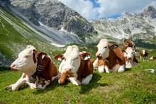 Kühe Auf Der Hochalm