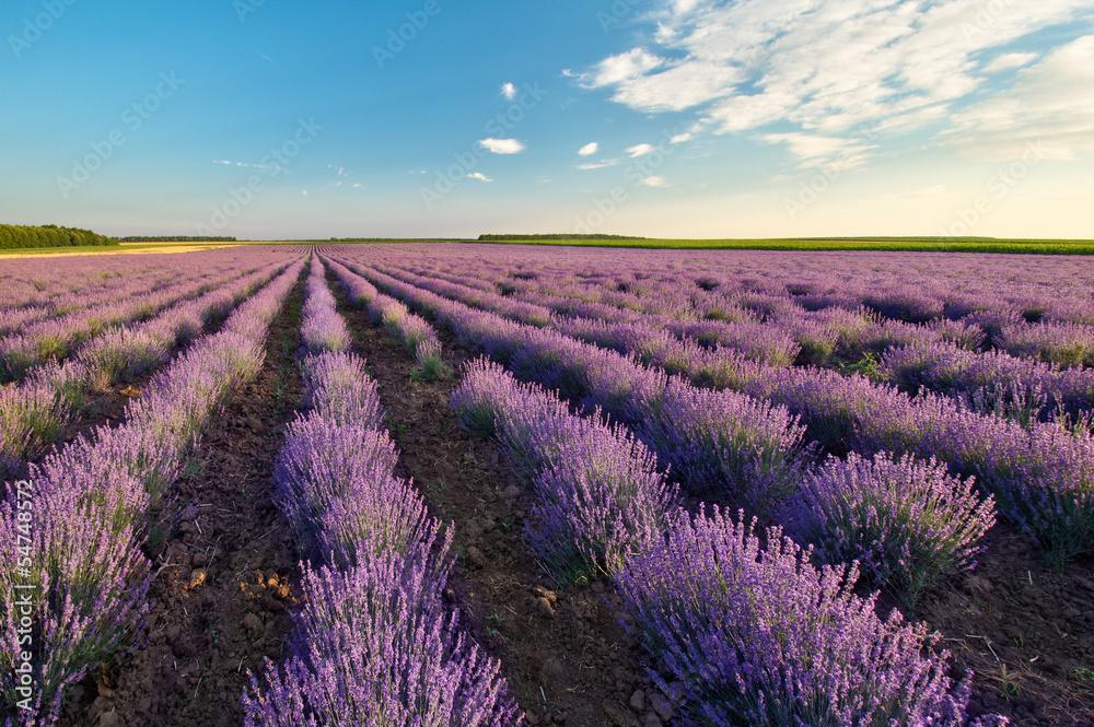 Fototapeta Fields of Lavender against the blue sky - obraz na płótnie