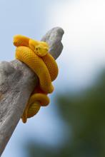 Yellow Eyelash Viper Coiled Around Limb