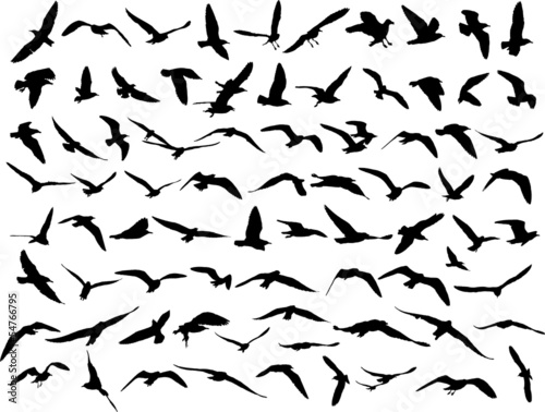 seagull silhouette on white background. Fototapeta