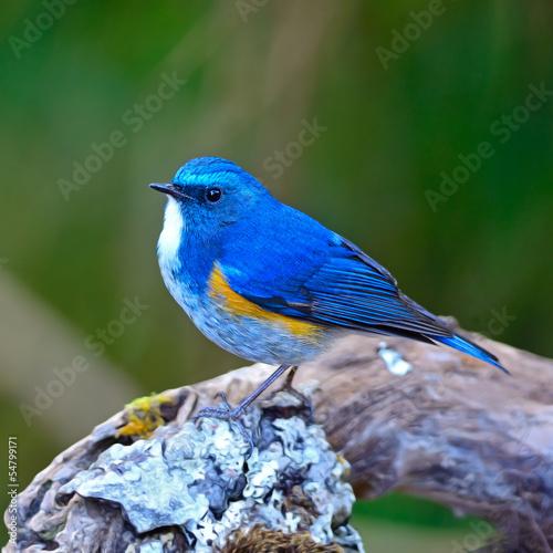 himalajski-niebieski-ptak