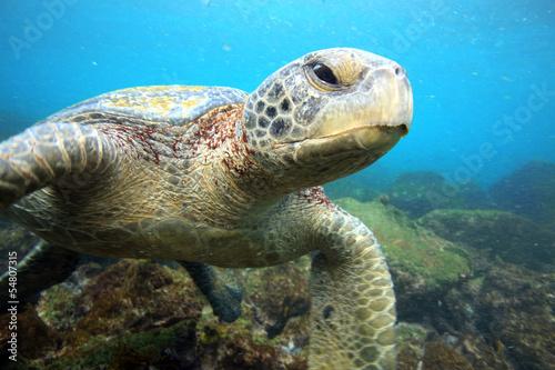 Foto op Aluminium Schildpad Sea turtle relaxing underwater in tropical ocean lagoon