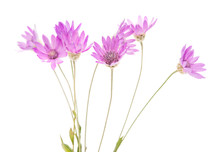 Immortelle Flower Isolated