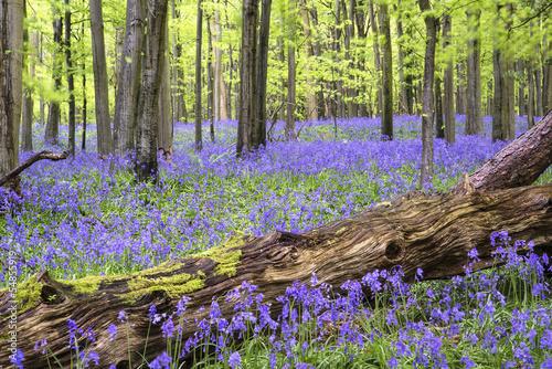 Fotografia, Obraz  Vibrant bluebell carpet Spring forest landscape