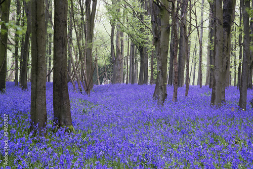 Photo Stands Gray traffic Vibrant bluebell carpet Spring forest landscape