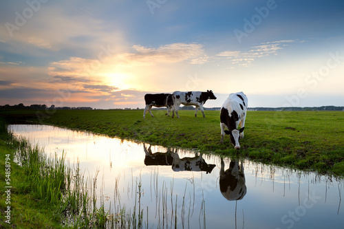 Photo Stands Cow cows grazing on pasture at sunset