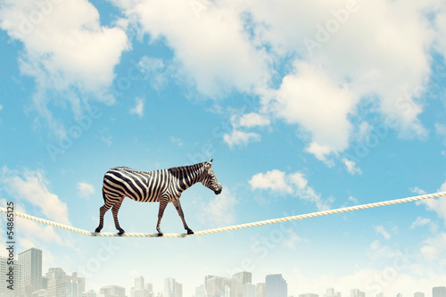 Tuinposter Zebra Zebra walking on rope