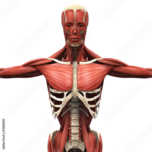 Fotografie, Tablou  Human Anterior Muscles