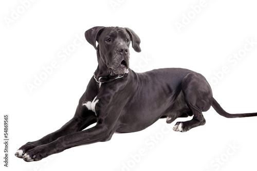 Fototapeta Black Great Dane, on the white background obraz