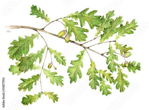 Fotografia  Farnia - Quercus robur