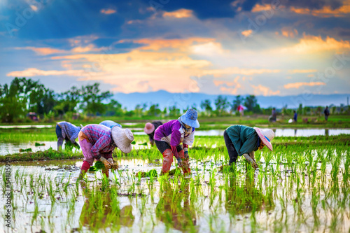 Farmers are planting rice in the farm. Fototapeta