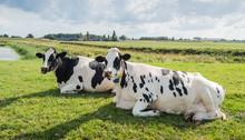 Ruminating Cows