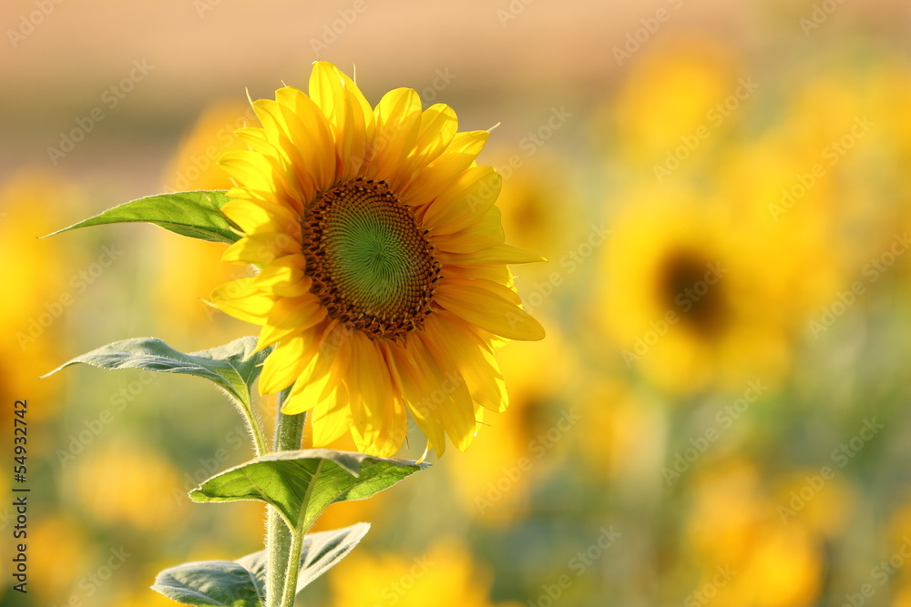Sonnenblume / Helianthus annuus / sunflower