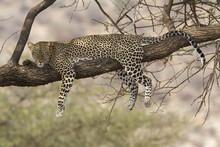Wild Leopard Resting On A Tree Branch