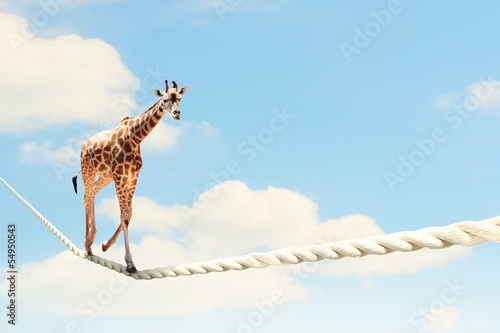 Foto op Canvas Giraffe Giraffe walking on rope