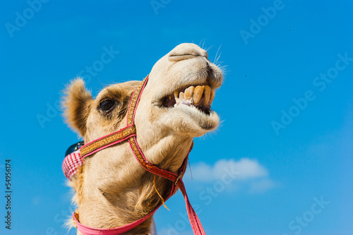 Chameau The muzzle of the African camel