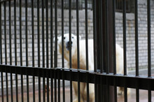 A Sad And Lonely Polar Bear Hi...