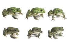 Several Large Frogs