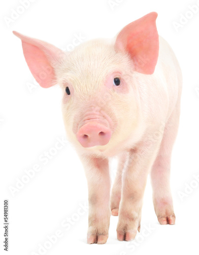 Photo  Pig who is represented on a white background
