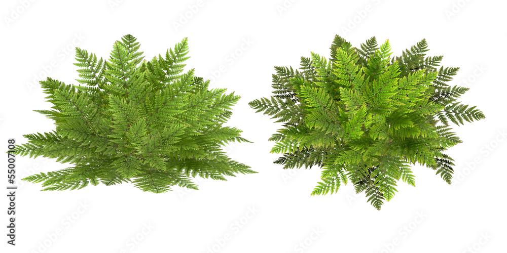 Fototapeta fern, isolated on the white background