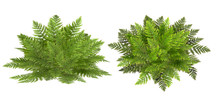 Fern, Isolated On The White Ba...