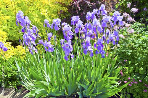 Spoed Foto op Canvas Iris Blue iris in an garden.