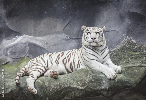 Fotografie, Obraz  WHITE TIGER on a rock