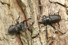 Male And Female Stag Beetles, ...