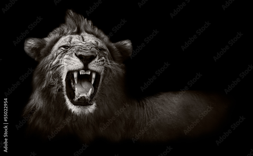 Fototapeta Lion displaying dangerous teeth