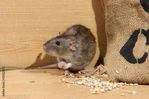 Photo  Brown rat, Rattus norvegicus