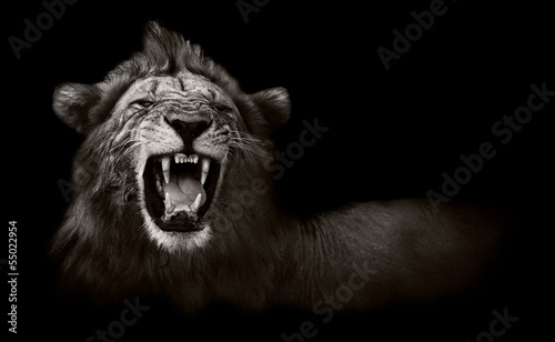 Aluminium Prints Africa Lion displaying dangerous teeth