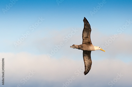 Fotografie, Tablou  Flying waved albatross Galapagos Islands