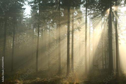 Fototapeten Wald Coniferous forest on a misty autumn morning