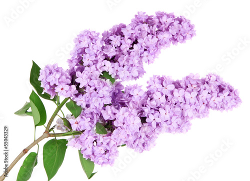 Fotobehang Lilac Beautiful lilac flowers isolated on white