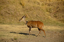 Male Bushbuck (Tragelaphus Syl...