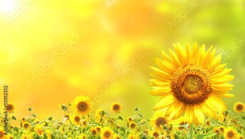 Keuken foto achterwand Zonnebloem Sunflowers