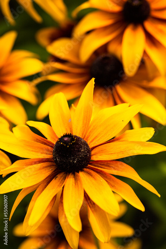 Fotografering  Bright yellow rudbeckia flowers in the garden