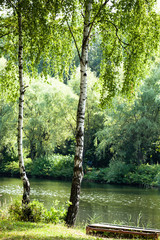 FototapetaBeautiful birch trees in a summer forest